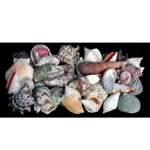 SEASHELL MIX - LARGE